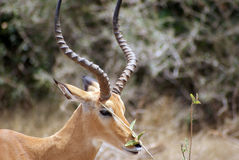 Gazelle Royalty Free Stock Photos