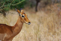 gazelle Stockbild