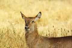 gazelle Стоковая Фотография RF