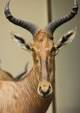 gazelle стоковое изображение rf