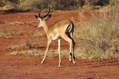 Gazelle Africa Royalty Free Stock Image