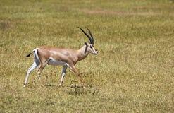 Gazelle africaine de concession photo stock