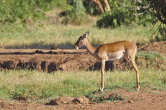 Gazelle Afrique Image stock