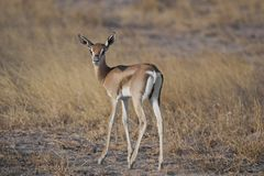 Young Gazelle in the Savannah Stock Images