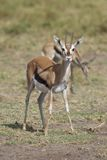 Gazelle in the Savannah Royalty Free Stock Photo