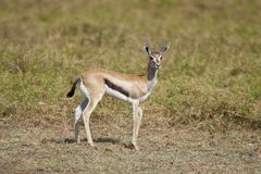Young Gazelle in the Savannah Royalty Free Stock Photography