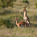 gazelle anslags- parande ihop s Arkivbilder