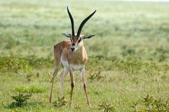 gazelle anslags- s Arkivbilder