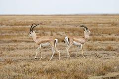 gazelle anslags- s Fotografering för Bildbyråer