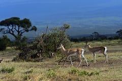 gazelle anslags- s Royaltyfria Foton
