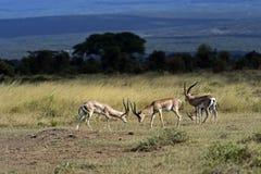 gazelle anslags- s Royaltyfria Bilder