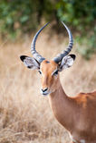 gazelle anslags- s Arkivfoto