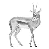 Gazelle antelope illustration, hand drawn gazelle deer Stock Photo