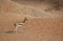 Gazelle, Arabian (Gazella arabica) Royalty Free Stock Photos