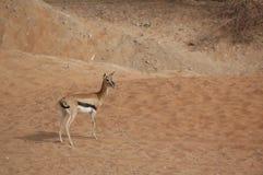 Gazelle, Arabian (Gazella arabica) Royalty Free Stock Photos