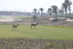 Gazelle, Arabian (Gazella arabica) Royalty Free Stock Photography