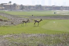 Gazelle, Arabian (Gazella arabica) Stock Photo
