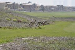 Gazelle, Arabian (Gazella arabica) Stock Images
