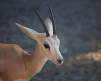Gazelle. Arabian Wildlife in natural habitat Royalty Free Stock Photography