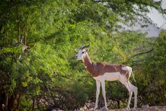 Gazelle arabo Immagini Stock