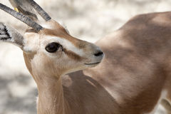 Gazelle baby Royalty Free Stock Photos