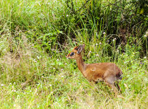 Gazelle baby walking Royalty Free Stock Photo