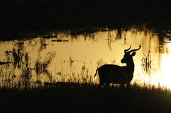 Gazelle back light near water at Uganda. Gazelle back light saw on a safari at Uganda Stock Photos