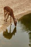 Gazelle bebendo Imagem de Stock Royalty Free