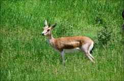 Gazelle Buck In de Goitered un pré Photos libres de droits