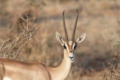Gazelle che lo esamina Fotografie Stock Libere da Diritti