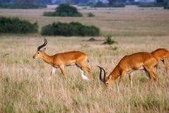 Gazelle che pasce nella savanna fotografia stock