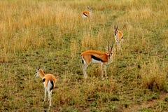 Gazelle chocado Imagen de archivo