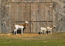 gazelle dama Стоковые Фотографии RF