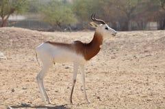 Gazelle, Dama (Gazella d.) Royalty Free Stock Photography