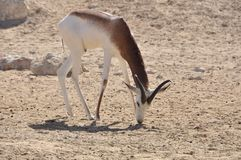Gazelle, Dama (Gazella d.) Royalty Free Stock Photo