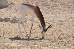 Gazelle, Dama (Gazella d.) Royalty Free Stock Photo