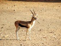 Gazelle dans la côte de l'Israël Images libres de droits