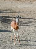 Gazelle de Dama Images libres de droits
