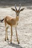Gazelle de Dorcas Image libre de droits