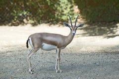 Gazelle de Dorcas fotos de archivo