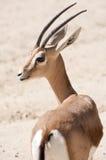 Gazelle de Dorcas Photos libres de droits