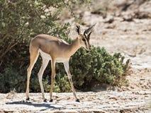 Gazelle de Dorcas Imagen de archivo libre de regalías