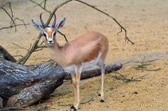 Gazelle de Dorcas Imágenes de archivo libres de regalías