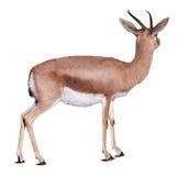 Gazelle de Dorcas au-dessus de blanc Photos stock