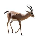 Gazelle de Dorcas sur le blanc Photo stock
