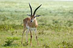 Gazelle de Grant Imagenes de archivo