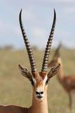 Gazelle de Grant Image libre de droits