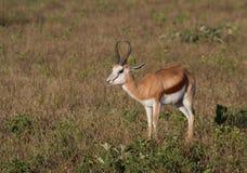 Gazelle de springbok sur une plaine d'Africain Image stock