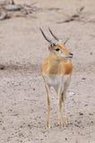 Gazelle de Thompsons Images libres de droits