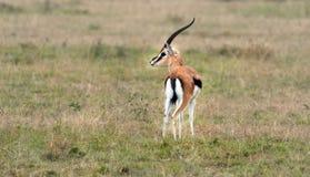 Gazelle de Thomson Imagens de Stock Royalty Free